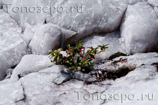 Летние фото топозеро ru брусника